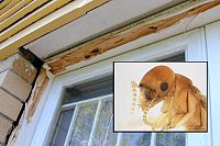 Destructive drywood termites attacking Queensland homes, but a government fumigation program is axed