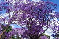 Why Brisbane, not Grafton, is the original jacaranda capital of Australia